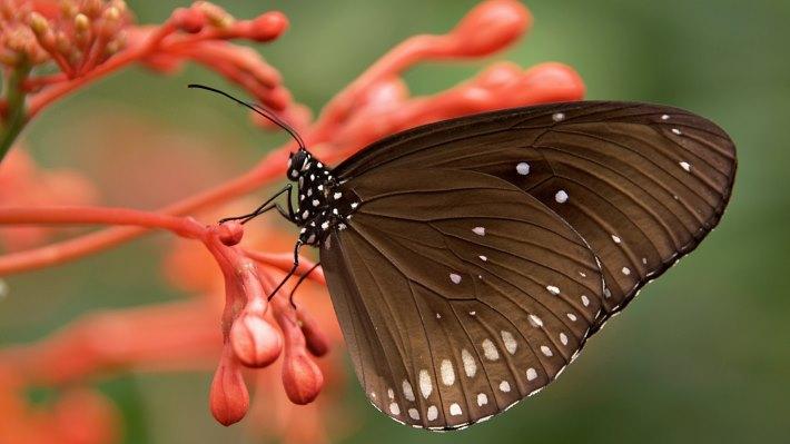 Wallpaper 2: Brown Butterfly