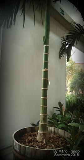 Mudas areca-catechu, palmeira-betel, noz-de-betel