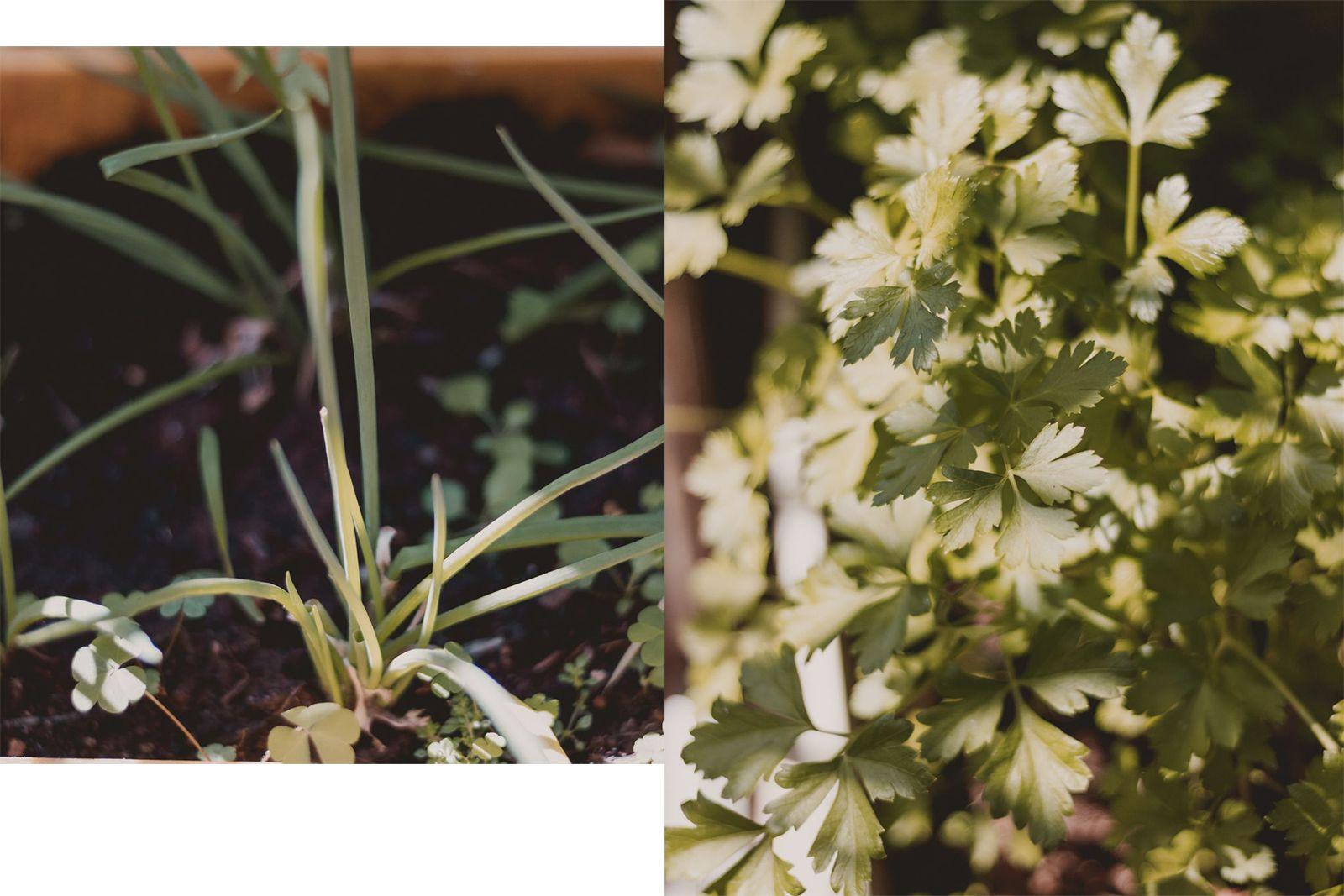 Adoradores de plantas | Houseplant jungle cebolinha e salsinha