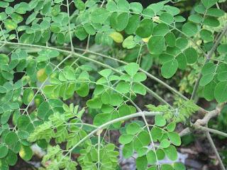 "<img src=""moringa.gif"" alt=""Amazing health benefits of moringa(malunggay) "" />"