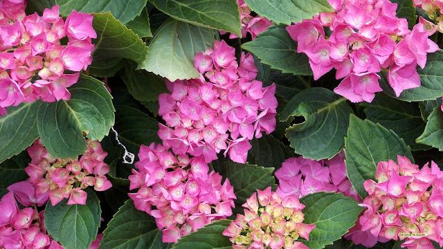 Roze hydrangea bloemen
