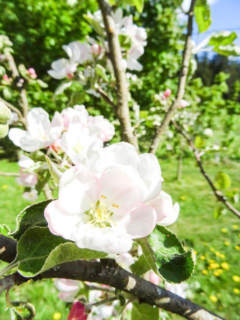 big mamas home blogi, viikkokatsaus, kesä, omenapuu