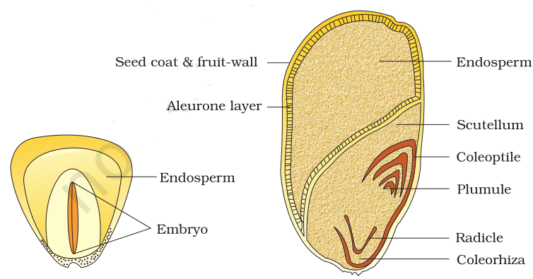 NCERT Solutions for Class 11th: Ch 5 Morphology of Flowering Plants Biology « Study Rankers