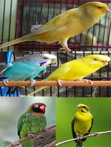 Manfaat Daun Randa Tapak atau Dandelion Untuk Burung Pemakan Biji