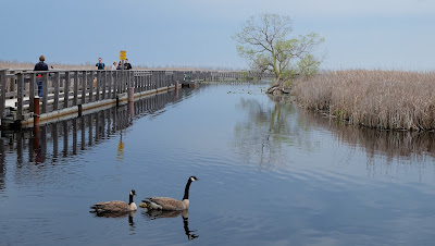 Marsh Boardwalk - Geese - Point Pelee