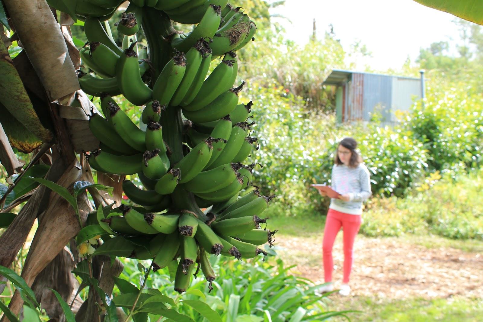 réunion île gotoreunion labyrinthe en champ thé tea grand coude visite à faire jumbocar irt tourisme 974 banane
