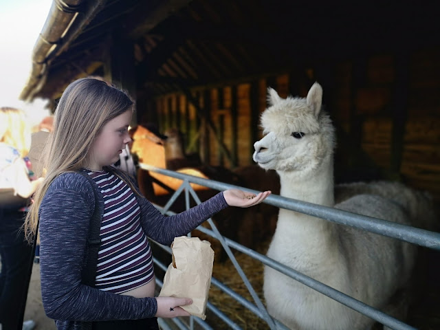 Tween girl feeding an alpaca
