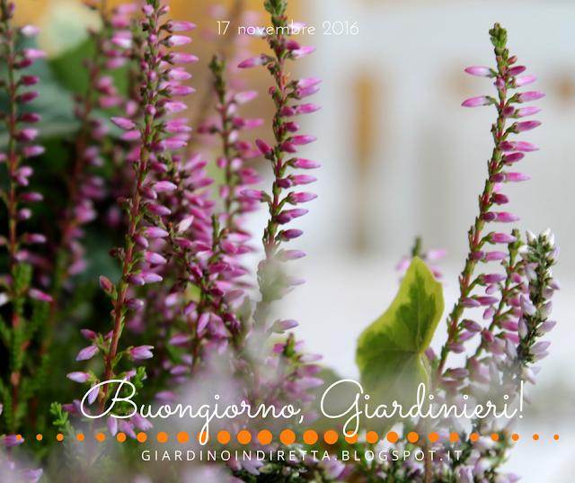 brugo (calluna vulgaris) - l'agenda del giardino e del giardiniere - un giardino in diretta