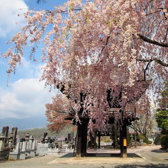 塩山 法正寺 枝垂れ桜