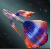 10 Ikan Hias Air Tawar Terindah jenis Guppy