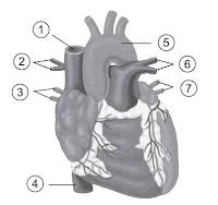 Jenis dan Letak Pembuluh Darah di Sekitar Jantung