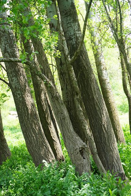 יער בעין עלווה