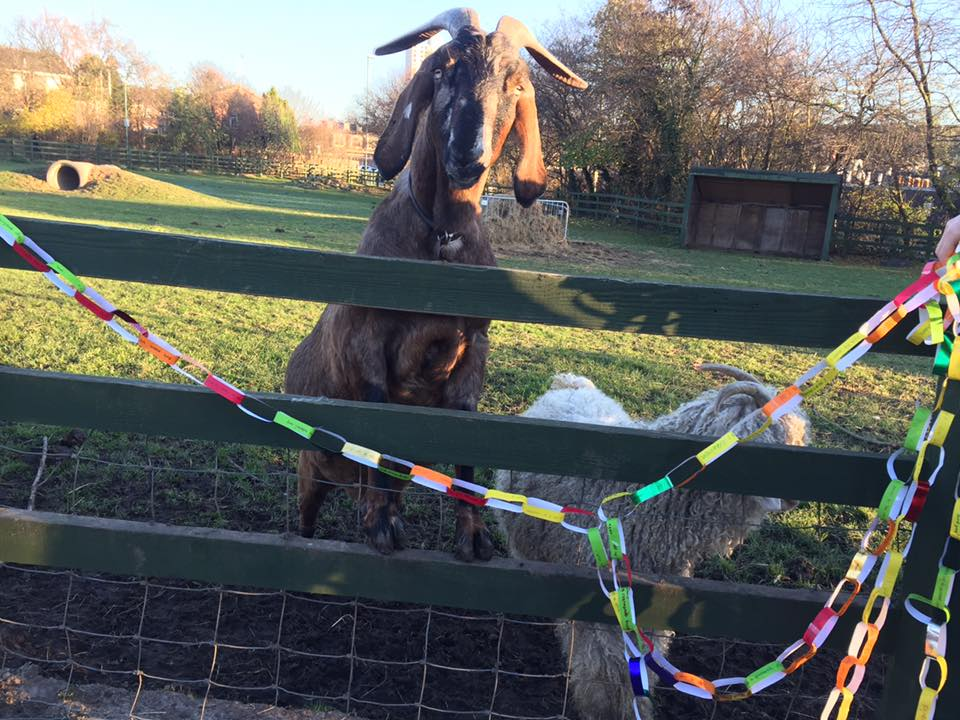 The nosy goat couldn't wait to see what all the fuss was about!