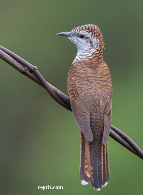 Burung Kedasih