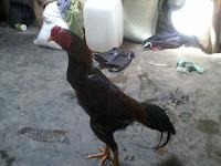 Manfaat Memandikan dan Menjemur Ayam Aduan