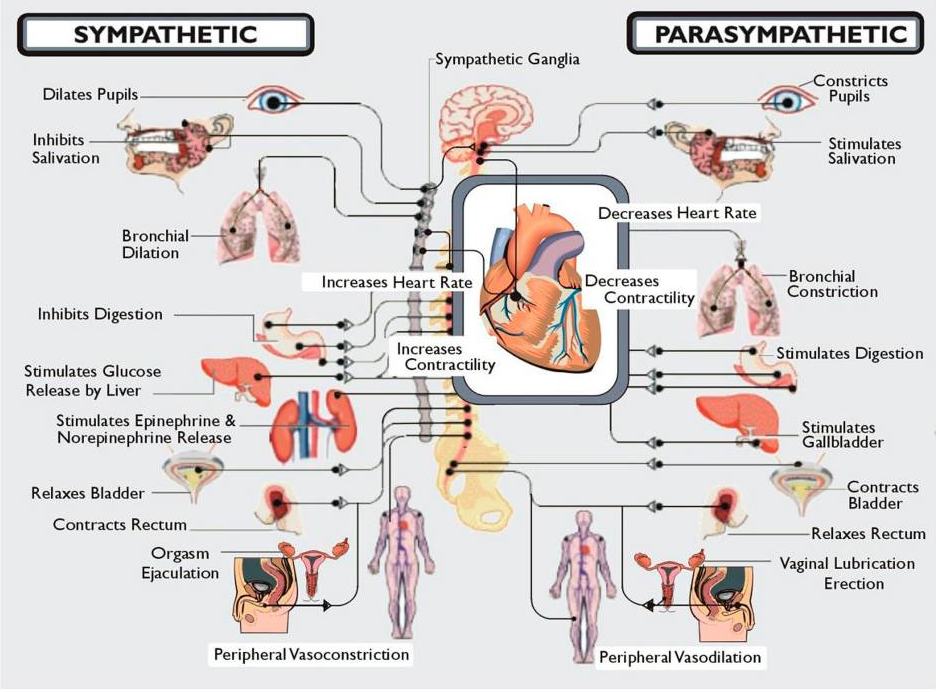 The Sympathetic and Parasympathetic Nervous System from Dysautonomia Interantional