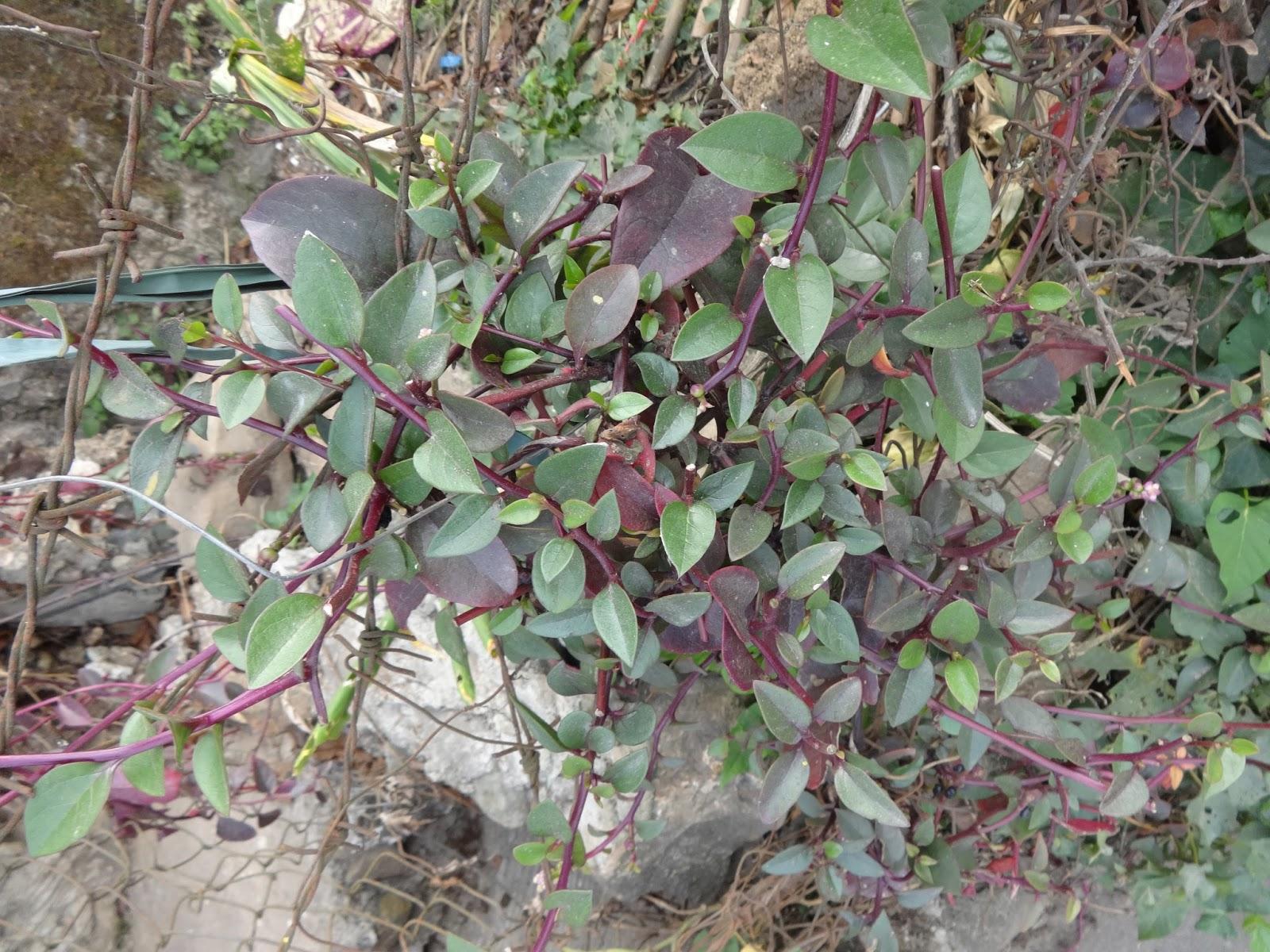 Herbs from Distant Lands: Basella alba, Basella rubra