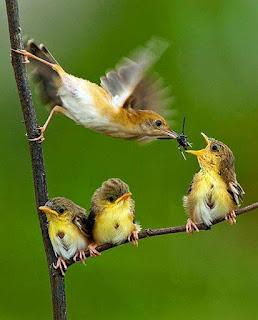 Sobre um fundo verde, pássaros pousados em um galho em forma de L. Três filhotes estão pousados na parte horizontal do L. Do lado esquerdo, a mãe está com as patas apoiadas na parte vertical do L, ela bate as asas velozmente enquanto equilibra-se no galho e alimenta o filhote que está na ponta do galho horizontal, com o bico aberto a espera do inseto. Os outros dois filhotes estão sentados juntinhos na junção do L.