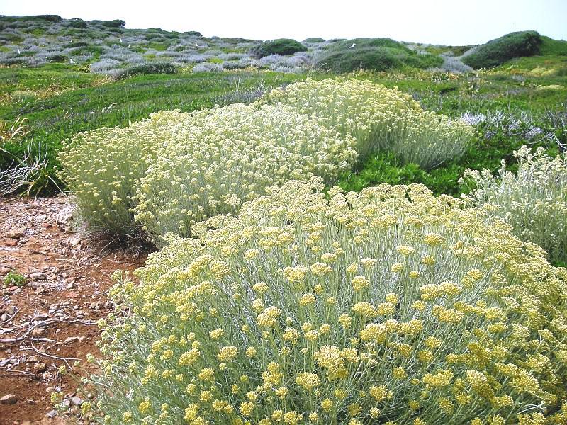 Fiori Gialli In Sardegna.Amicomario L Elicriso Il Semprevivo Sole D Oro Della Sardegna