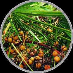 obat kuat, obat kuat biomate, root, khasiat maca root, manfaat akar maca, obat kuat biomate, biomate kiens, suplemen biomate,