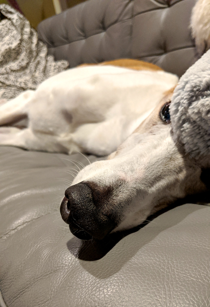 image of Dudley the Greyhound lying on the couch with a pillow half over his face