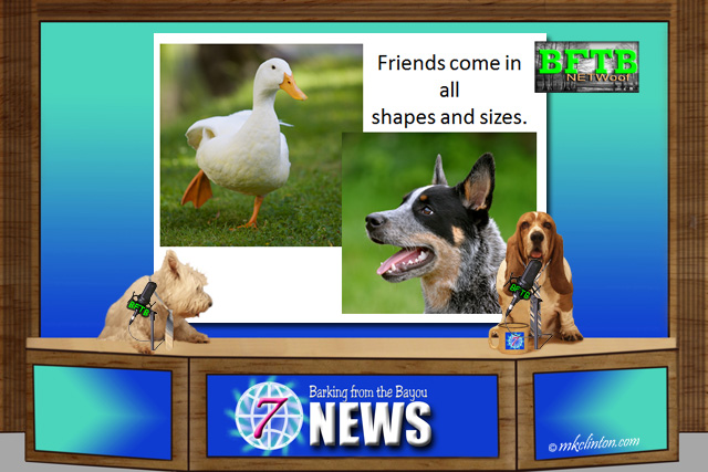 BFTB NETWoof News about duck and dog friendship