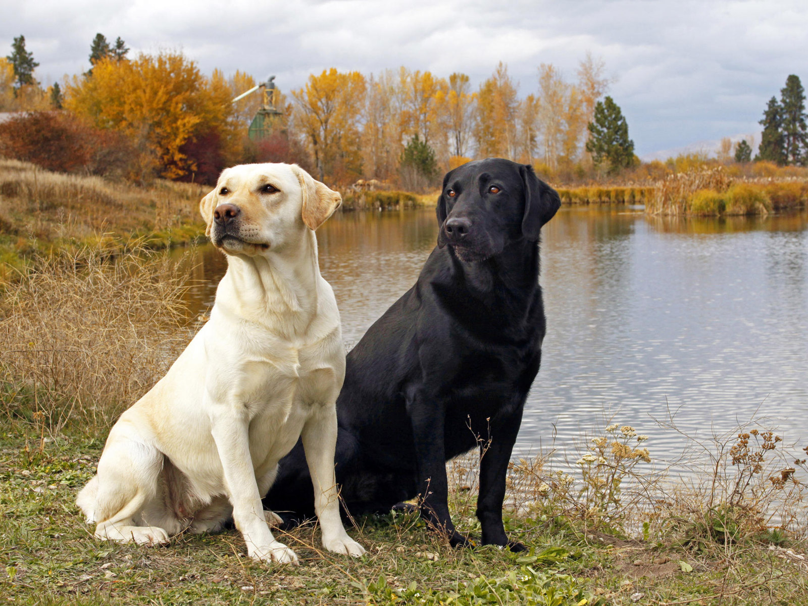 "All List Of Different Dogs Breeds: The Labrador Dog ""Lab"""
