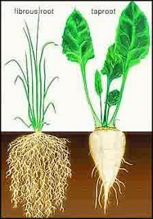 Tumbuhan Berakar Serabut : tumbuhan, berakar, serabut, Contoh, Tumbuhan, Angiospermae, Berakar, Serabut