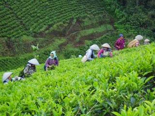 kebun teh di majalengka