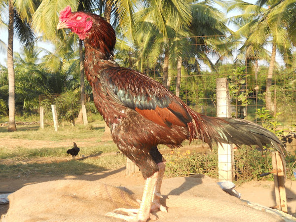 Asil Chicken Characteristics & Breed Information | Modern Farming