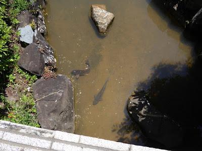 枚方市・市民の森(鏡伝池緑地)の鯉