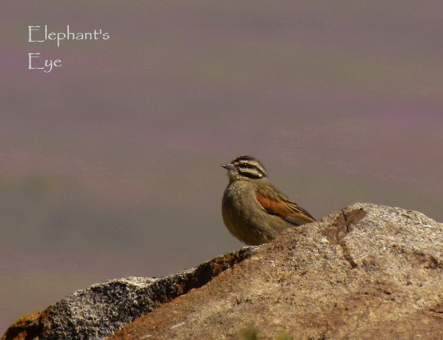Cape Bunting on Gannaga Pass