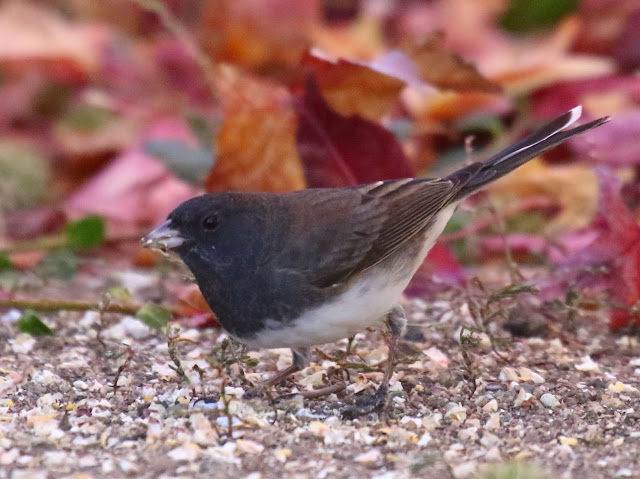 Male Slate-colored Junco