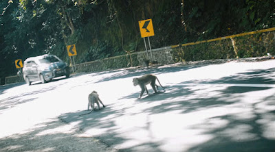 wild monkey on the road on pus Lombok