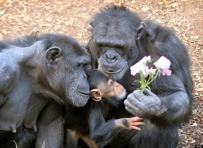 fotografía del reino animal chimpancés  muy tiernos