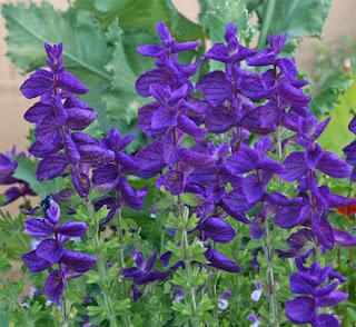 Plantas Mágicas: Salvia