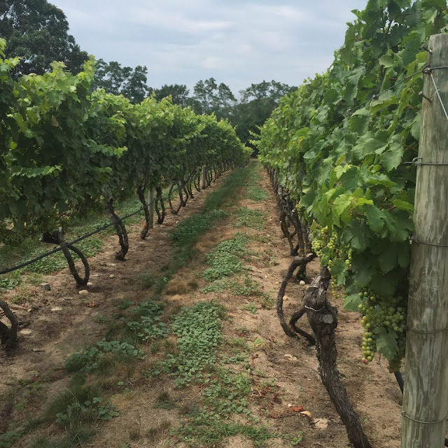Truro Vineyards Cabernet Franc vines