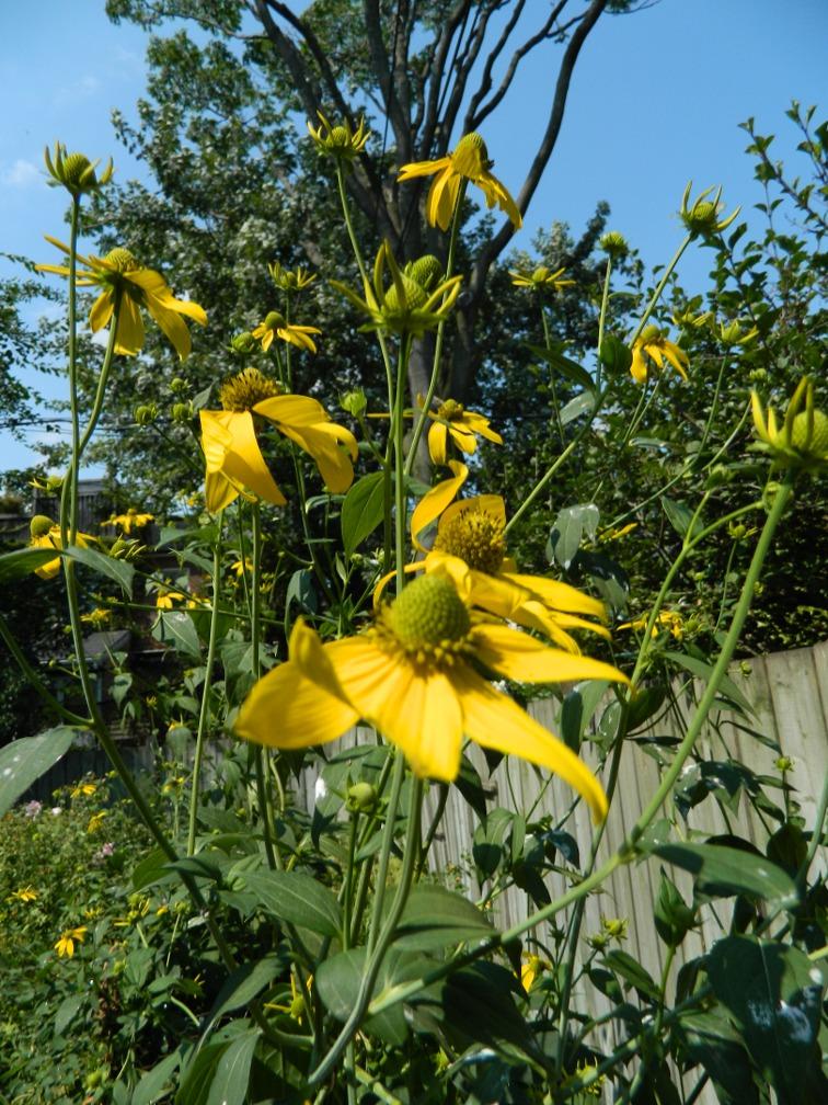 Giant coneflower Rudbeckia maxima ecological gardening by garden muses-a Toronto gardening blog