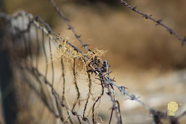 Closeup Of Barbed Wire And Dried Vines In Tawny Photography