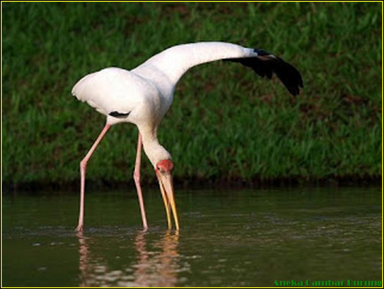 48 Aneka Gambar Burung Bangau Unik Seronok Melayu