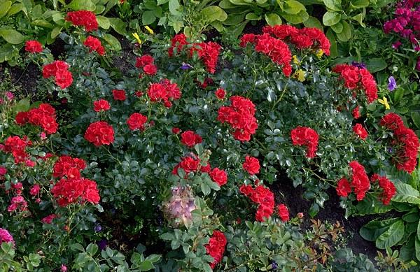 Matador сорт розы фото