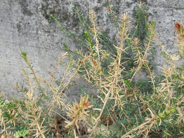 Erica con foglie secche