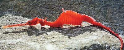 Dragão marinho vermelho é filmado pela primeira vez