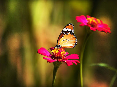 beautiful-butterfly-image