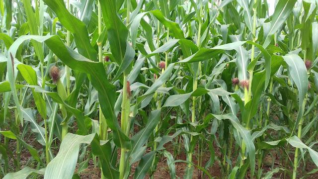 Tanaman Jagung Dibudidaya Secara Anorganik dengan Pertanian Konvensional