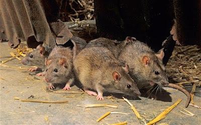 many mice in hay