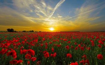 Wallpaper: Poppies