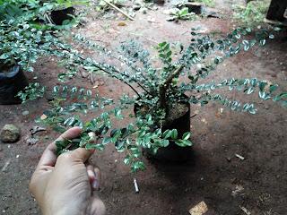 tanaman hias mirten