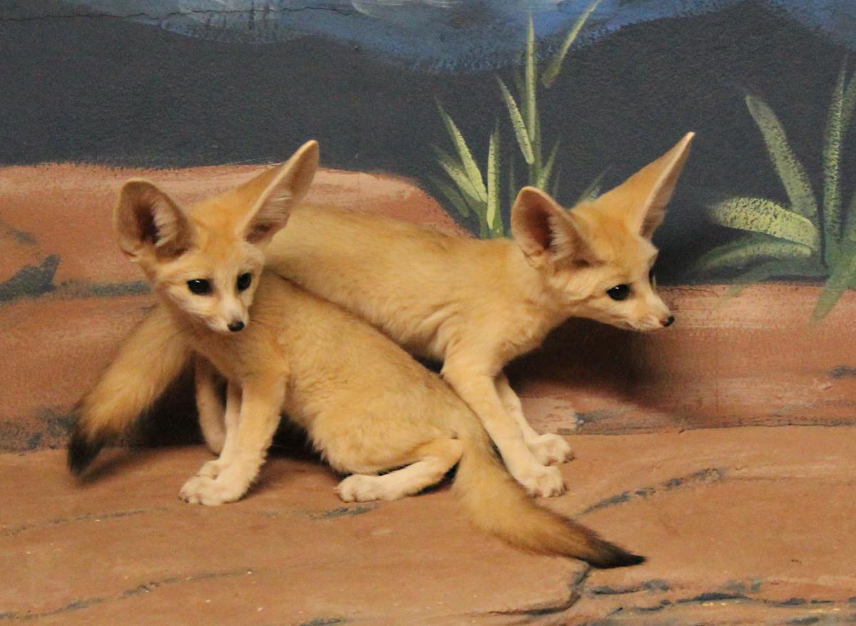 Fennec Fox