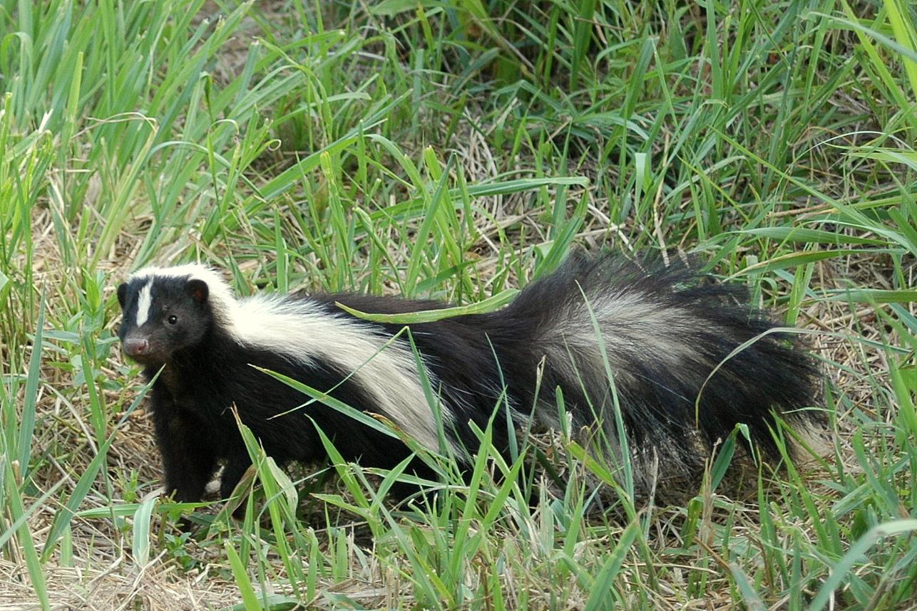 Elegant Skunk Diggings And Droppings